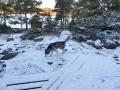 Varga kollar snön