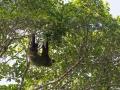 Sengångare med alger i pälsen