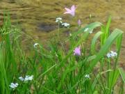 Blommor vid ån Rodl