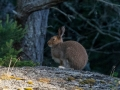 Hoppe hare