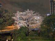 Sakura först kvällen i Tokyo