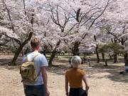 Körsbärsblom även i Nara