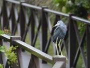 Fåglis