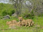 Tre lejonungar mumsar impala
