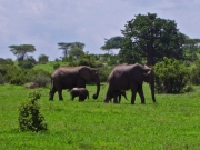 Elefanter med ungar