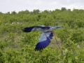 Blåkråka