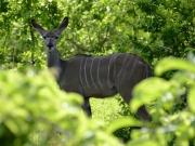Stor kudu