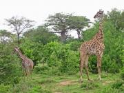 Giraffmamma med unge