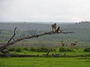 Babianer på gren