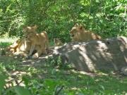Busiga lejonungar