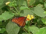 En fjäril -av många