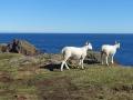 St Abbs med får