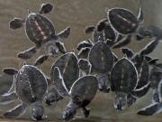 Sköldpaddisar