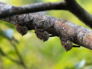 Små fladdermöss
