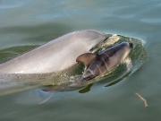 Delfinbebis