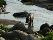 Flodhästen vandrar i skymningen