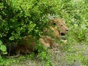Lejonhanne vilar i skuggan