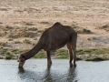 Dricker som en kamel