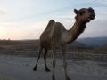 Kamel på vägen