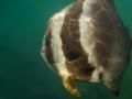 Stor platt fisk med okänt namn