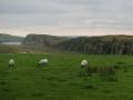 Hadrianus mur med får